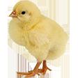 Категория Домашняя птица
