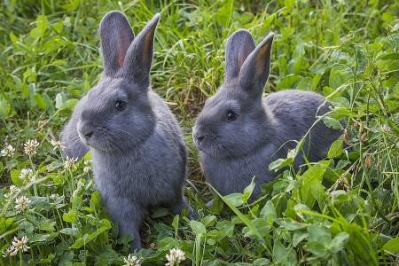 кролики Калуга. Фото №1