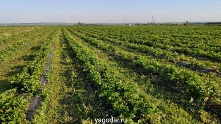ягода Набережные Челны. Фото №2
