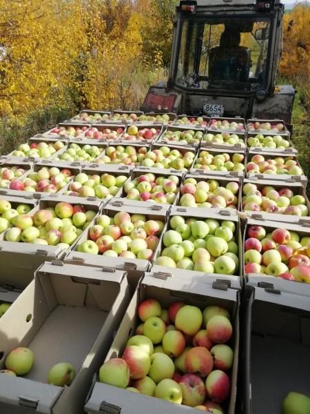 яблоки Самара. Фото №2