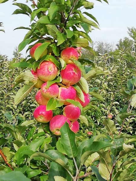 яблоки Самара. Фото №3