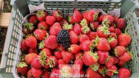 ягода Набережные Челны. Фото №1