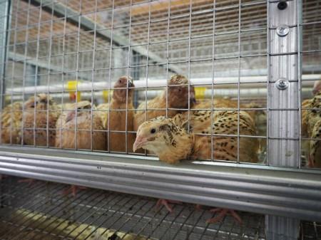 яйца перепелиные Орёл. Фото №3