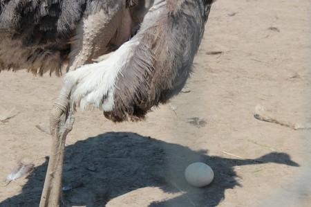 яйца страусиные Орёл. Фото №1