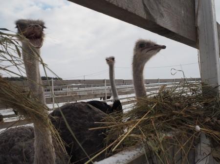 яйца страусиные Орёл. Фото №2