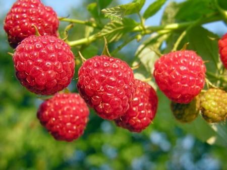 ягода Самара. Фото №2