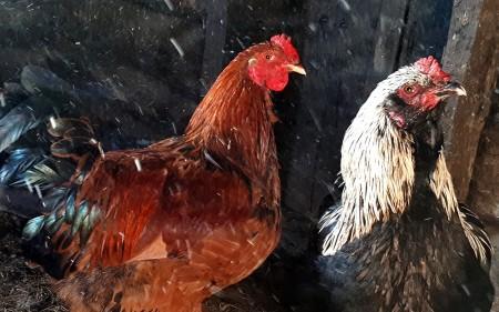 яйца куриные Самара. Фото №2