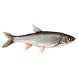 Категория Рыба